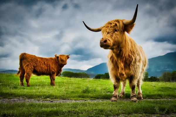 Photograph - Highland Cattle - Scotland by Stuart Litoff