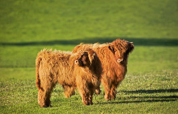 Shadow Photograph - Highland Cattle, Yea, Victoria by Australian Scenics