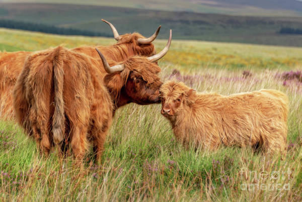 Dartmoor National Park Photograph - Highland Cow And Calf by Delphimages Photo Creations