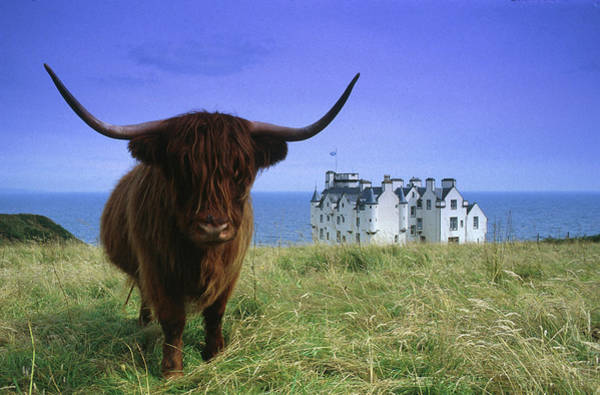 Sea Cow Photograph - Highland Cow At Dunbeath Castle by Heinz Wohner / Look-foto