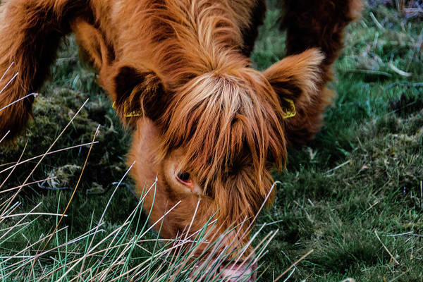 Photograph - Highland Cow Eating Close Up by Scott Lyons