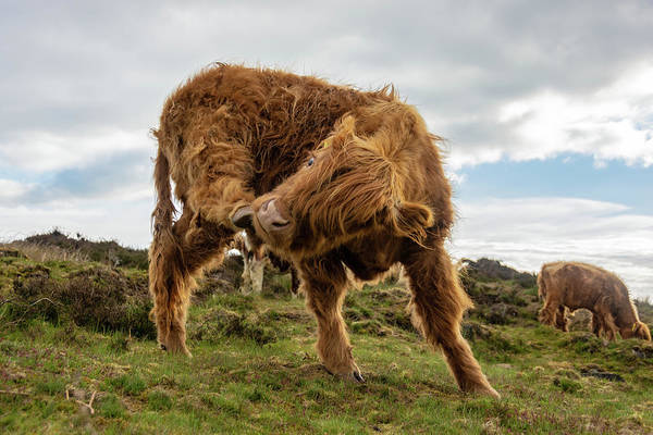 Photograph - Highland Cow Having A Scratch by Scott Lyons