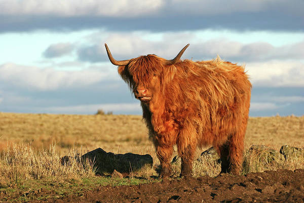 Photograph - Highland Cow In Field by Adstock/universal Images Group