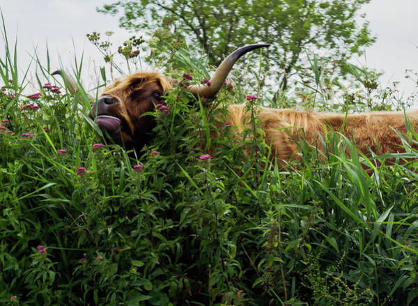 Photograph - Highland Cow In Tall Grass by Scott Lyons
