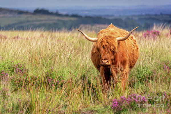 Wall Art - Photograph - Highland Cow In The Moor by Delphimages Photo Creations