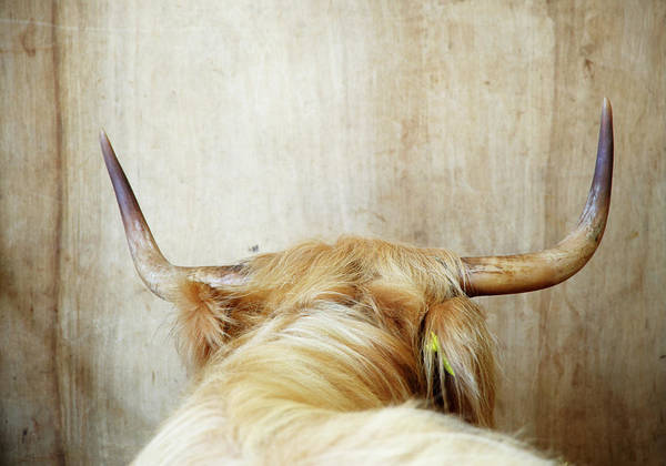 Norfolk Photograph - Highland Cow, Rear View by Liz Whitaker