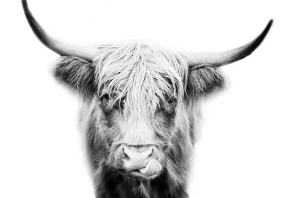 Wall Art - Photograph - Highland Cow by Stephanie McDowell