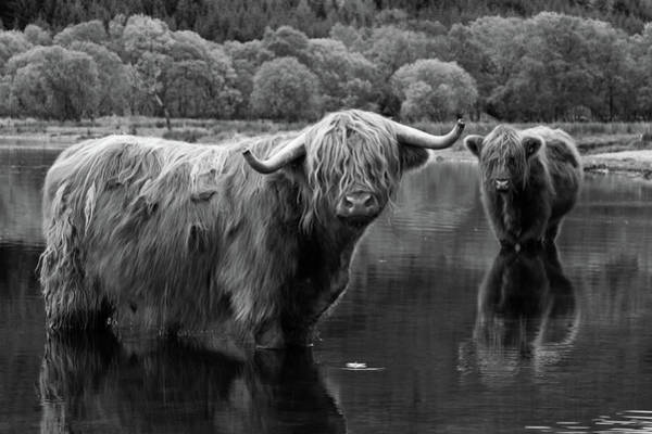 The Trossachs Wall Art - Photograph - Highland Cows Cooling Off In Loch Voil by Empato