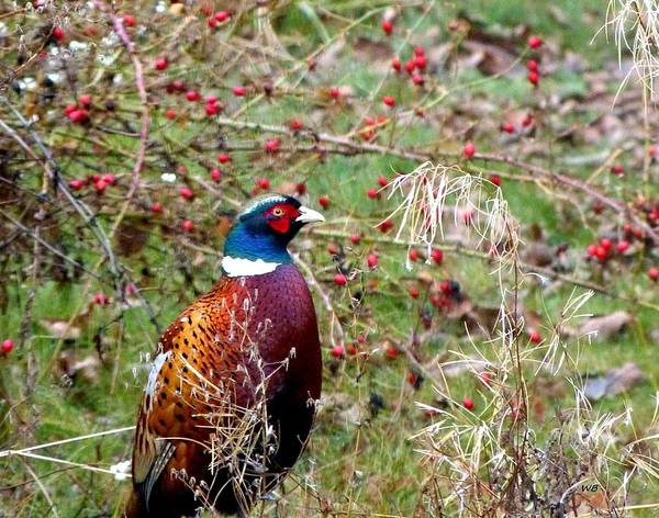 Wall Art - Photograph - Highland Pheasant by Will Borden