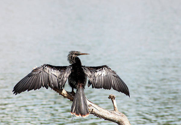 Wall Art - Photograph - Hillsborough River Anhinga by Norman Johnson