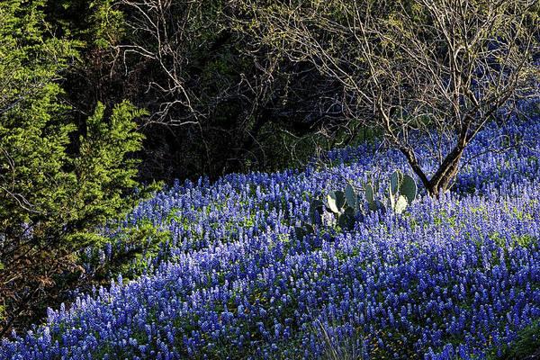 Photograph - Hillside Bluebonnets by JC Findley