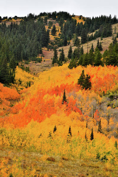 Photograph - Hillside Of Aspens In Ashcroft by Ray Mathis
