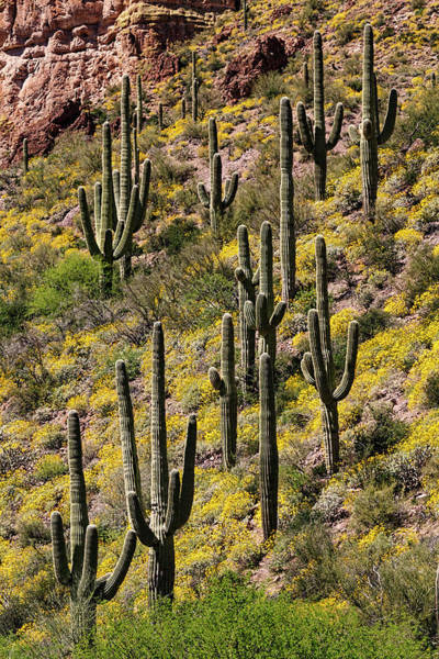 Wall Art - Photograph - Hillside Of Saguaro Cactus by Adam Jones