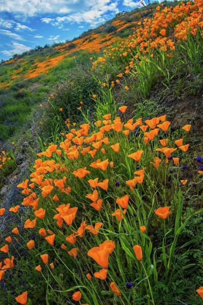 Photograph - Hillside Poppies In Lake Elsinore by Lynn Bauer