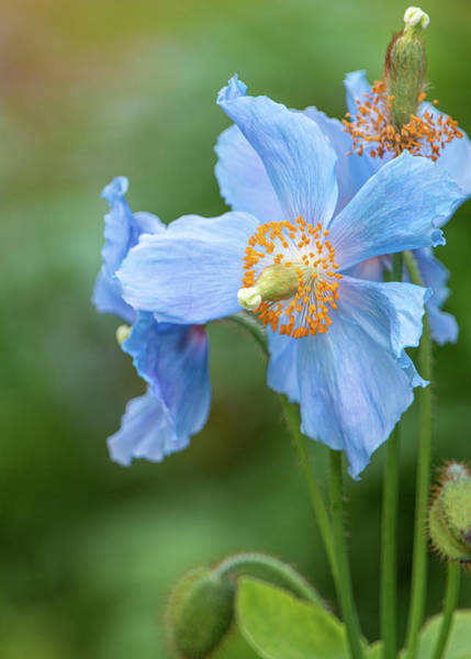 Photograph - Himalayan Blue Poppy By Tl Wilson Photography by Teresa Wilson