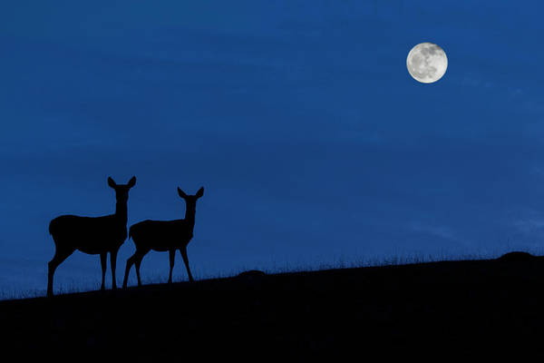 Photograph - Hind With Calf At Night by Arterra Picture Library