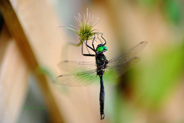 Photograph - Hines Emerald Dragonfly by Kae Cheatham