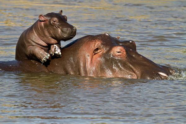 Hippo Photograph - Hippo Baby Enjoying Life On Mums Back by Manoj Shah