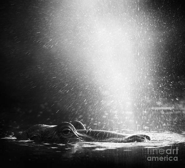 Hippopotamus Amphibius Wall Art - Photograph - Hippopotamus Blowing Air Through by Johan Swanepoel