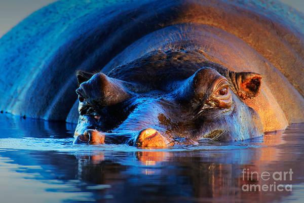 Wall Art - Photograph - Hippopotamus Hippopotamus Amphibius At by Johan Swanepoel