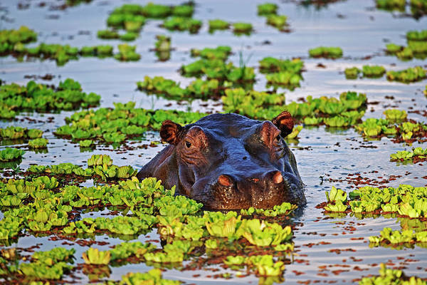 Animal Head Photograph - Hippopotamus Hippopotamus Amphibius In by Martin Harvey
