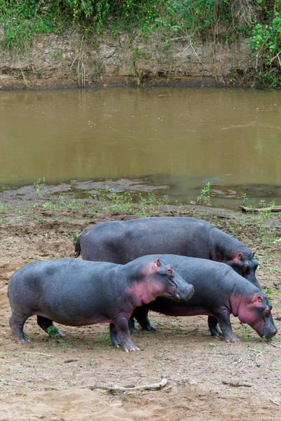 Hippo Photograph - Hippos, Masai Mara National Reserve by Nico Tondini