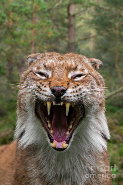 Photograph - Hissing Lynx by Arterra Picture Library