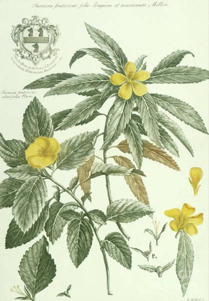 Wall Art - Painting - Historia Plantarum Rariorum By Jacobus Van Huysum Turnera Frutescens by Jacobus Van Huysum