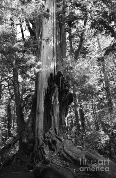 Photograph - Historic Cedar by Jeni Gray