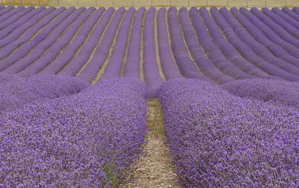Parallels Wall Art - Photograph - Hitchin Lavender by Photo © Stephen Chung