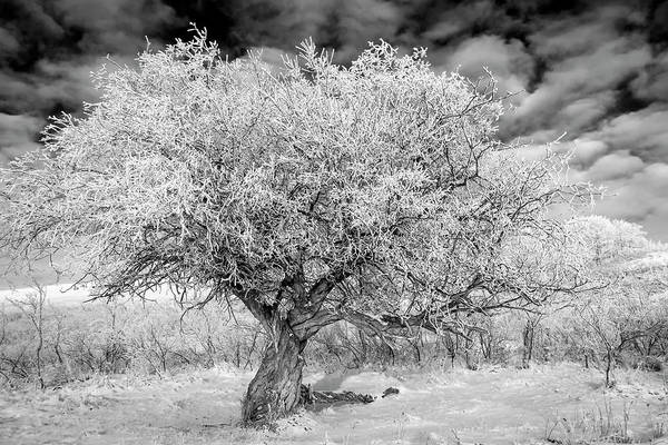 Photograph - Hoar Frosted Tree In Black And White by Karen and Phil Rispin