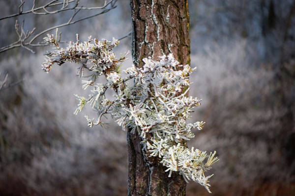 Photograph - Hoarfrost Pine Cones by Mark Duehmig