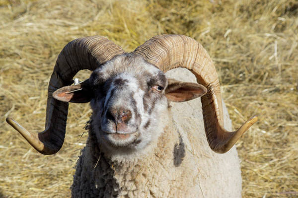 Photograph - Hog Island Sheep 1 by Buddy Scott