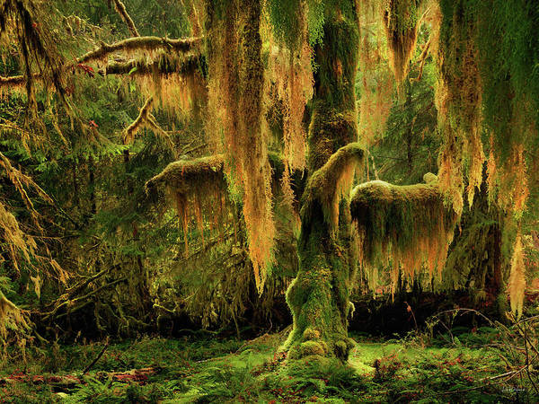 Conifer Photograph - Hoh Rain Forest by Leland D Howard