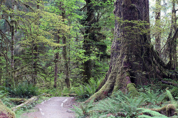 Photograph - Hoh Rainforest - Olympic National Park - Washington by Rick Veldman