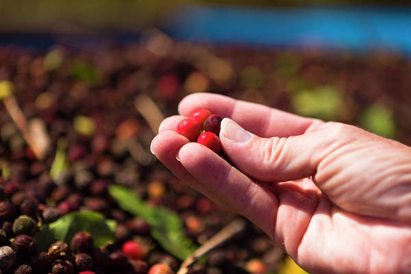 Human Hand Photograph - Holding Ripe Cherries by Dustypixel