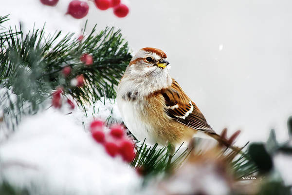 Photograph - Holiday Tree Sparrow by Christina Rollo