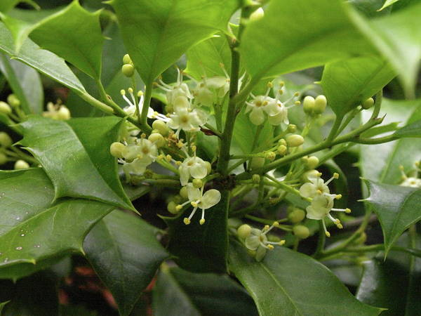 Photograph - Holly Blossoms by Jeffrey Peterson