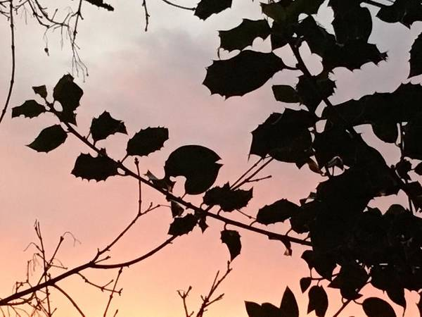 Photograph - Holly Tree Sunset, Apricot, Lilac/ Grey, Sky by Itsonlythemoon