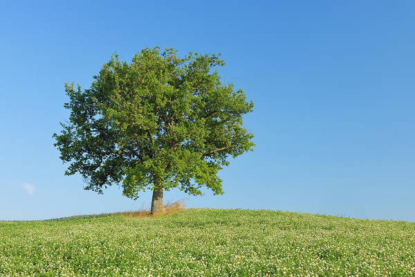 Tuscany Photograph - Holm Oak Quercus Ilex In Clover Field by Martin Ruegner