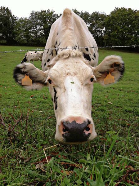 Wall Art - Photograph - Holstein Cow by Salomé Fresco