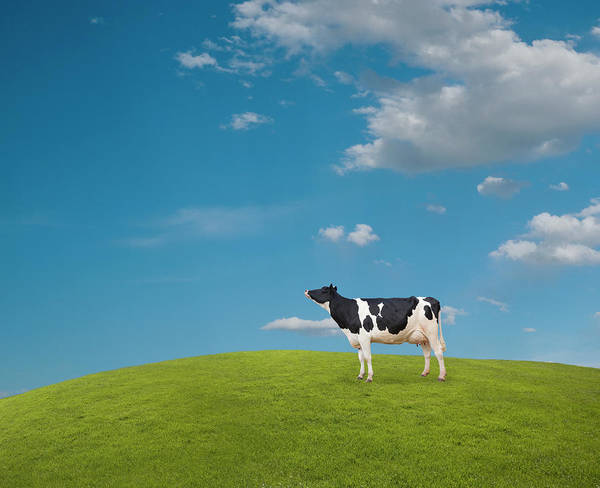 Wall Art - Photograph - Holstein Dairy Cow by John Lund