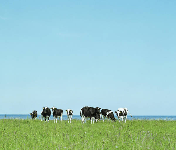 Wall Art - Photograph - Holstein-friesian Cows In Field by A.c.