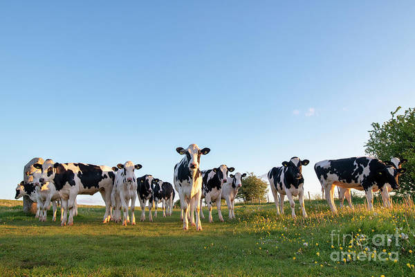 Photograph - Holstein Friesians by Tim Gainey