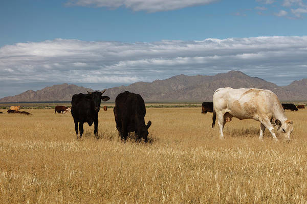 Cow Photograph - Home On The Range by Dustypixel