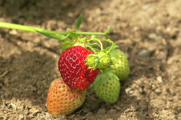 Photograph - Homegrown Strawberries by Sharon Talson