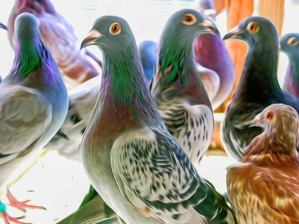 Photograph - Homing Pigeon Group Swirly by Don Northup