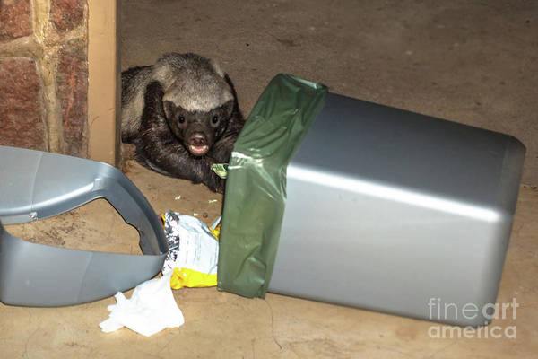 Photograph - Honey Badger Looking In Rubbish Bin by Benny Marty
