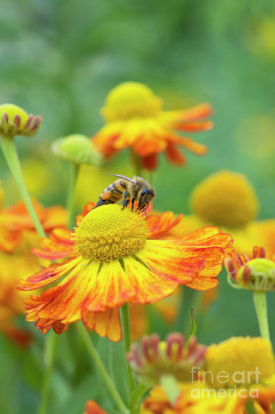 Pollinator Wall Art - Photograph - Honey Bee And Helenium by Tim Gainey