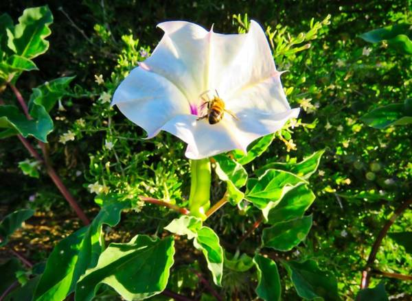 Photograph - Honey Bee In Sacred Datura by Judy Kennedy